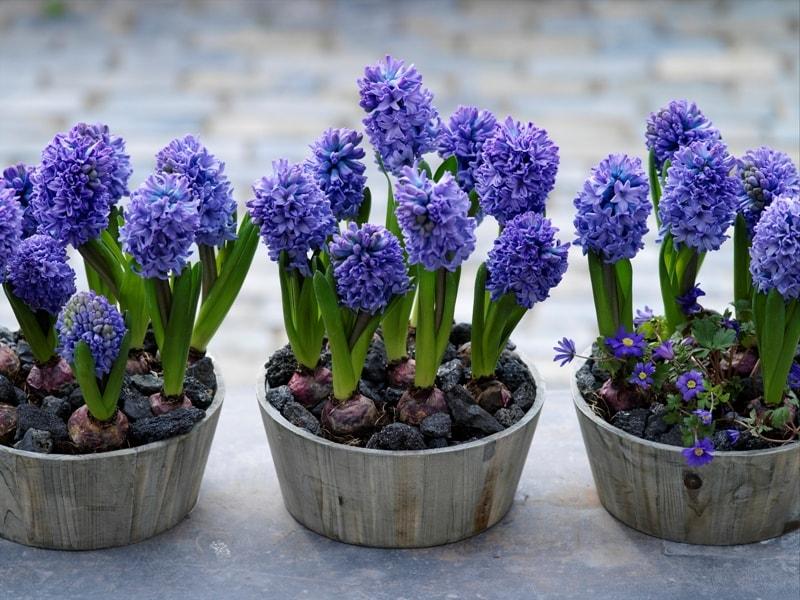 Цветы гиацинты: посадка и уход в открытом грунте и комнатных условиях. Гиацинты отцвели: что дальше с ними делать, когда выкапывать, как хранить луковицу?