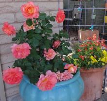 A potted rose in a desert garden.