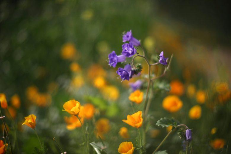 images/Wildflower Bloom/2017-03-15T025945Z_1_LYNXMPED2E04Y_RTROPTP_4_CALIFORNIA-FLOWERS