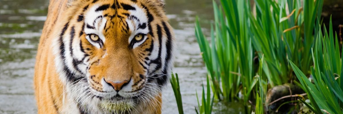 Universities Rally Together at Mizzou-Auburn Game to Save Tigers