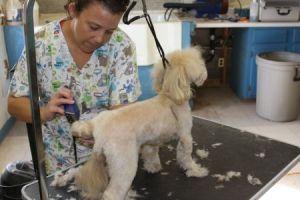 poodle grooming in Tucson