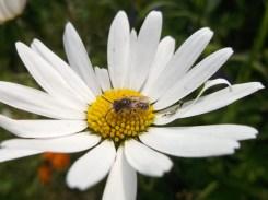 Davies' Colletes on Oxeye daisy, Radstock - D Porter