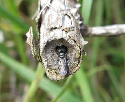 Blue carpenter bee, Radstock - D Porter