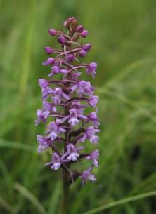Fragrant orchid - Diana Walker