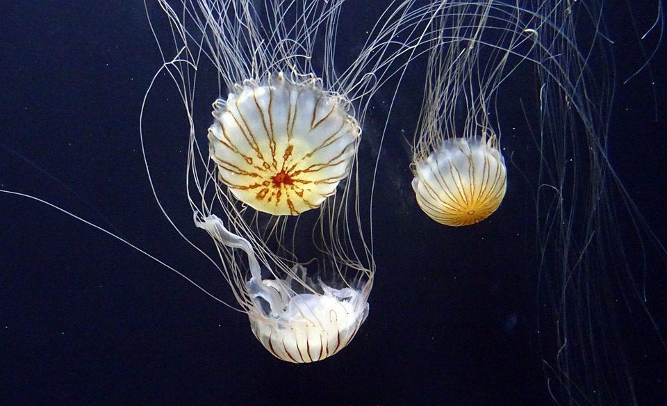 jellyfish-1024271_960_720