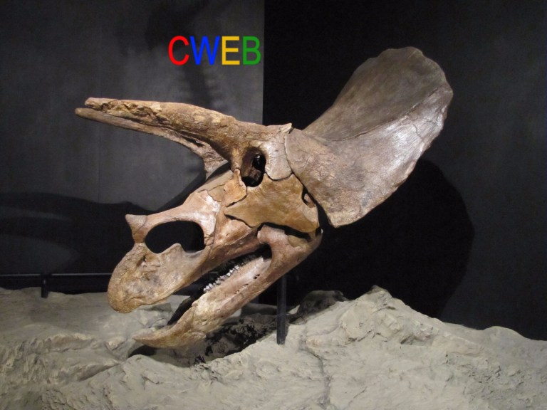 Triceratops_skull_houston.JPG