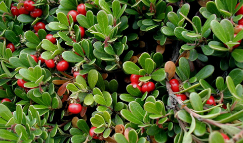 Image result for bearberry