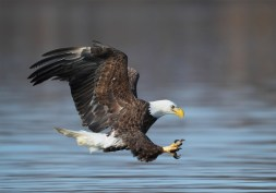 wetland american eagle 2