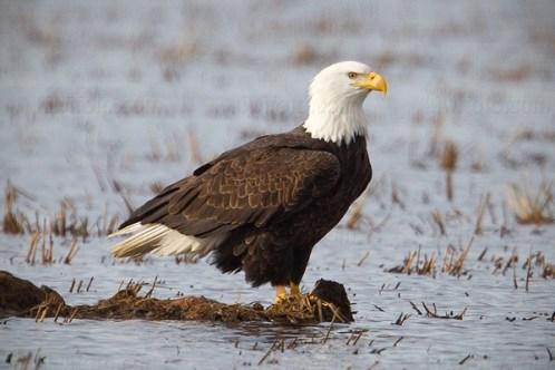 wetland american eagle 3