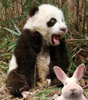 Panda who eats a rabbit