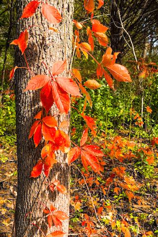 red_leaf_1 copy