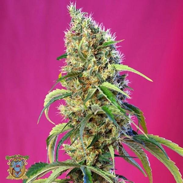 BlackJack CBD Feminized Seeds (Sweet Seeds)