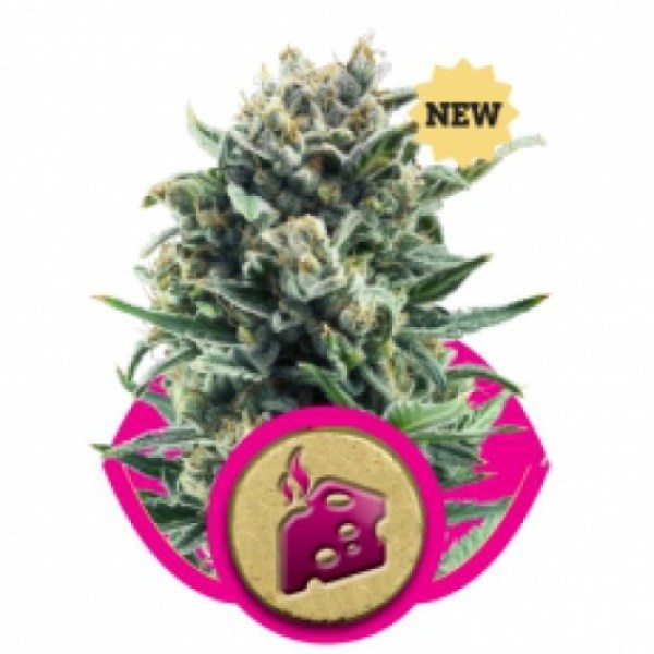Blue Cheese Feminized Seeds (Royal Queen Seeds)