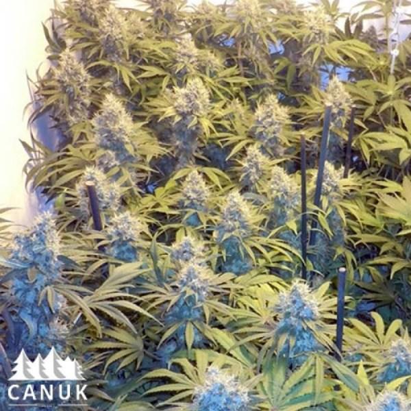 Blueberry Feminized Seeds (Canuk Seeds)