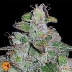 Blueberry OG Limited Edition Feminized Seeds (Barney's Farm)