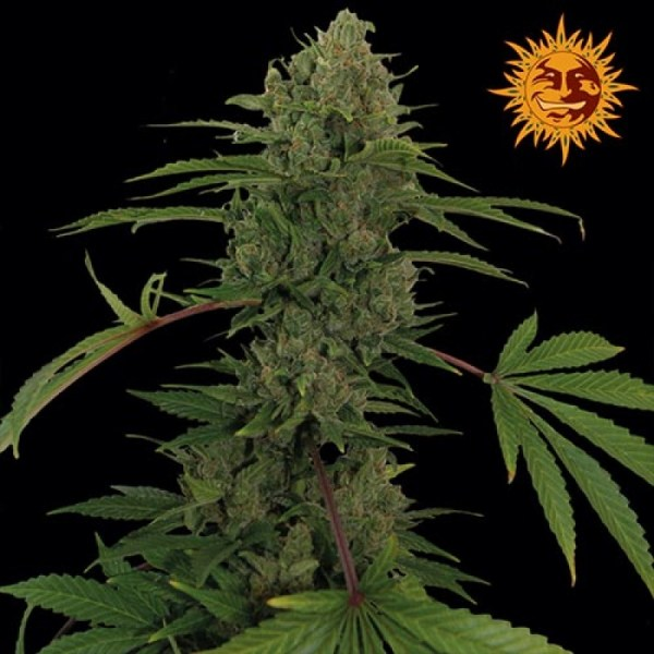 Critical Kush Auto Feminized Seeds (Barney's Farm)