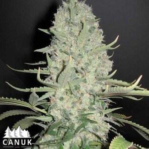 Critical Widow Feminized Seeds (Canuk Seeds)