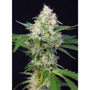Crystal Candy Feminized Seeds (Sweet Seeds)