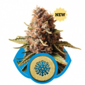 Euphoria Feminized Seeds (Royal Queen Seeds)