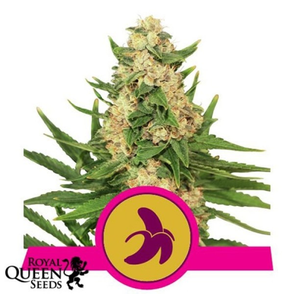 Fat Banana Feminized Seeds (Royal Queen Seeds)
