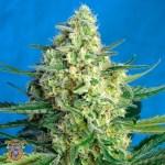 Jack 47 XL Auto Feminized Seeds (Sweet Seeds)