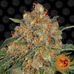 Orange Sherbert Feminized Seeds (Barney's Farm)