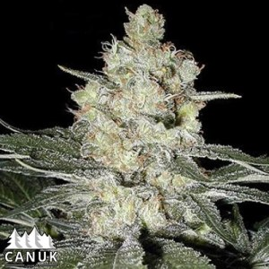 Original Skunk #1 Regular Seeds (Canuk Seeds)