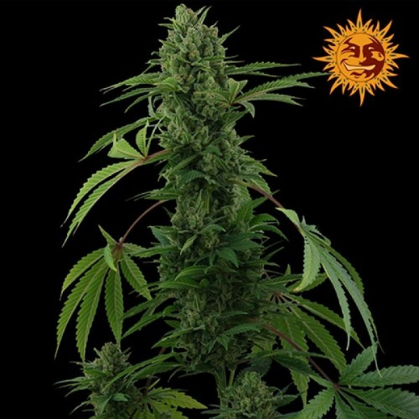 Pineapple Express Auto Feminized Seeds (Barney's Farm)