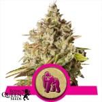 Royal Gorilla Feminized Seeds (Royal Queen Seeds)