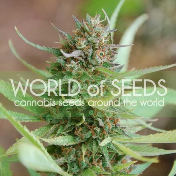 Strawberry Blue Feminized Seeds (World of Seeds)