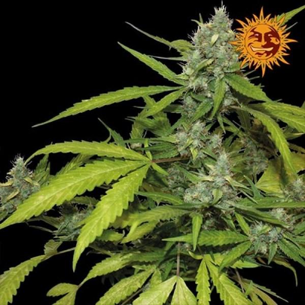 Sweet Tooth Auto Feminized Seeds (Barney's Farm)