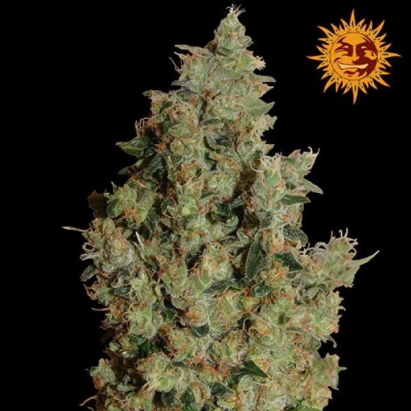 Tangerine Dream Feminized Seeds (Barney's Farm)