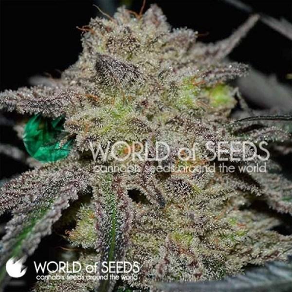 Tonic Ryder CBD Auto Feminized Seeds (World of Seeds)