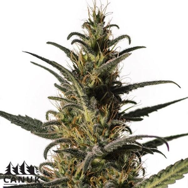 Viente:Uno CBD Feminized Seeds (Canuk Seeds)