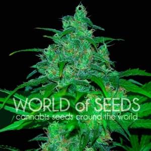 Wild Thailand Feminized Seeds (World of Seeds)