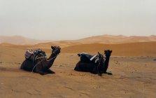 ma1999-desert-dromadaires