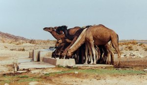 Dromadaires assoiffés entre Erfoud et Tineghir