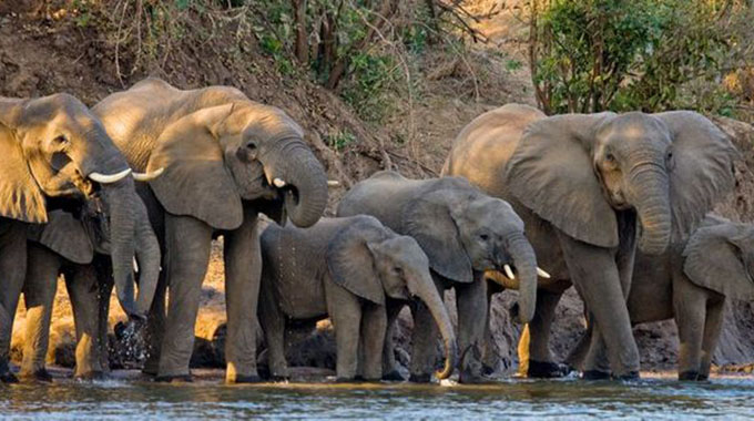 Chiredzi Farmer Trampled To Death Trying To Scare Away Elephants From His Sorghum Field-iHarare