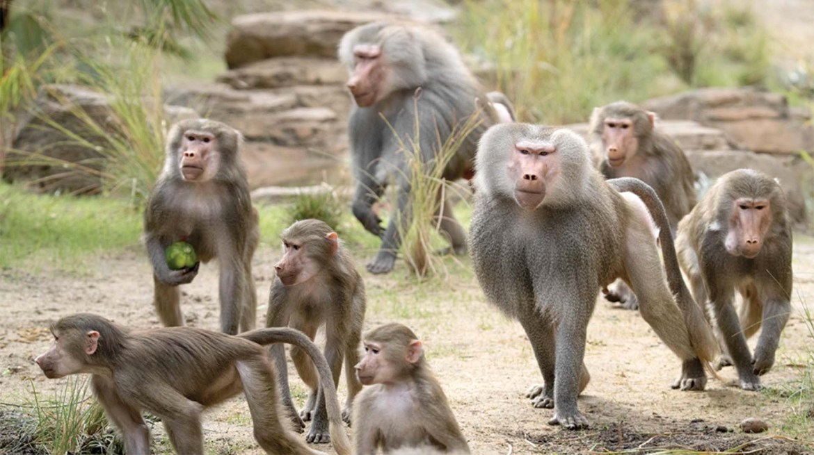 Baboons Raid Supermarkets And Terrorize Residents In Victoria Falls-iHarare