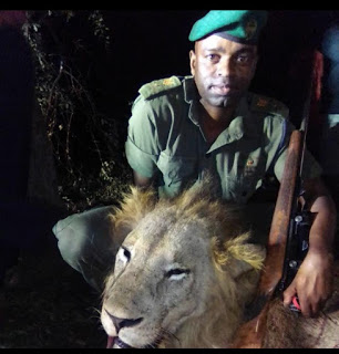 Rangers Gun Down Stray Lion That Killed Four Cows In Triangle