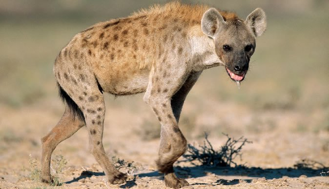 Boy Mauled By Hyena During All-Night Prayer Set For Facial Reconstruction Surgery In SA