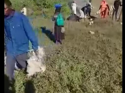 Manna From Heaven As Residents Scramble For Chickens Found Wondering In Bush