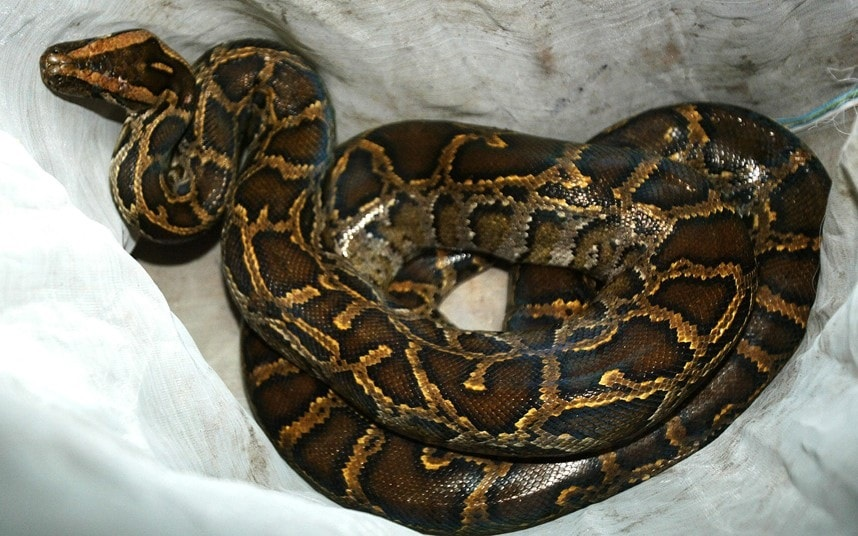 Healing Session Gone Wrong As Prophet Is Nabbed For Using African Rock Python To Fake Exorcisms-iHarare