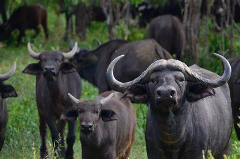 """Three Farmers Arrested After Their """"Drunk"""" Buffaloes Expose Hidden Stash Of IIIicit Alcohol-iHarare"""
