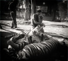you pondering the tigers