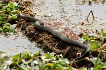 Water Moccasin
