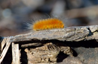 I'm pretty sure this is some type of tiger moth caterpillar.