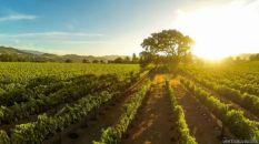 Atardeceder en un viñedo de Santa Inez, California.