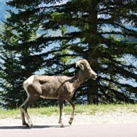 Rocky Mountain Cycling Interlude: Bighorn Sheep, Ragged Peaks and Turquoise Waters