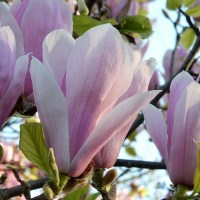 Magnolia and Cherry Blossom Cascades